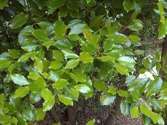 Photos of New Zealand trees. Plants, Herbs, Tree