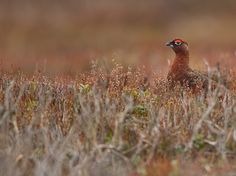Red Grouse : Steve Race Grouse, Countryside, Creatures, Racing, Birds, Red, Life, Animals, Image
