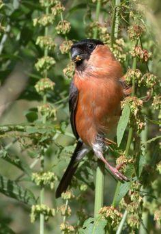 Bullfinch, Buzzard, Rare Birds, Bird Species, Cattle, Gallery, Animals, Birds, Gado Gado