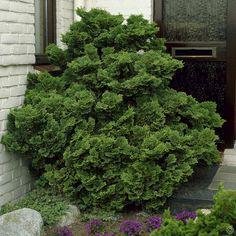 Cyprysik tepoluskowy Nana Gracilis - 1 drzewo