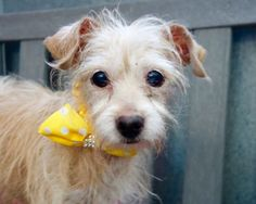 TO BE DESTROYED - 09/17/15 - **SENIOR ALERT** - PRINCESS - #A1051322 - SUPER URGENT Manhattan - 09/13/15 - FEMAE TAN/WHITE CHIHUAHUA SH/CAIRN TERRIER, 10 YRS - OWNER SUR - EVALUATE, NO HOLD Reason OWN EVICT Intake Date 09/13/15 Due Out 09/13/15 - CAME IN WITH BULLET #A1051323