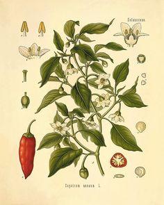 peperoncini rossi rossi stampe arte cucina arte botanica stampe vintage home decor parete arte stampe antiche