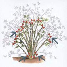 Cięcie krzewów róż pielęgnacja róż związana z cięciem Cięcie krzewów róż, pielęgnacja róż – porady o różach Sad, Rose, Garden, Plants, Pink, Garten, Lawn And Garden, Gardens, Plant