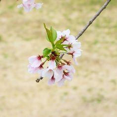 20160404 #japan #kumamoto #kumamotocastle #flower #sony #여행 #일본 #구마모토 #구마모토성 #꽃스타그램 #벚꽃 by hyz_travel