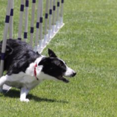 Flying Fly...with Keen Performance Dogs in San Diego