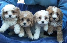 Cavapoos   $775 each, plus tax - includes microchip.   Mom is a Cavalier King Charles Spaniel and dad is a toy Poodle.