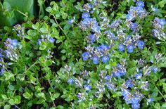 Ground covers provide popular lawn substitute, whether solid surfaces or plants like Stepables Rustic Gardens, Outdoor Gardens, Garden Plants, Flower Gardening, Garden Bed, Herb Garden, Natural Pond, Ground Cover Plants, Outdoor Flowers