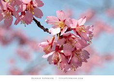 Pink Cherry Blossoms, Branch Brook Park