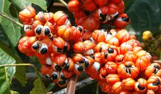 guarana - Google Search