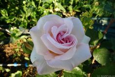 Rose 'Lady Sylvia'.