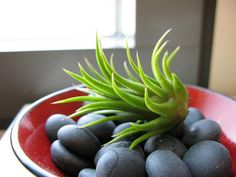 Great article about Air Plant care, also has a video detailing Air Plant care in terrariums.