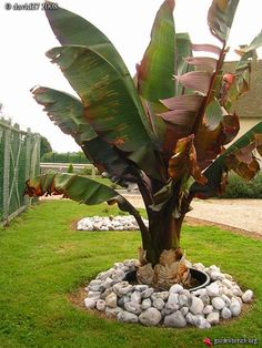 Tropical Backyard Landscaping, Backyard Plants, Tropical Garden, Tropical Plants, Banana Plants, Fruit Plants, Fruit Flowers, Fruit Trees, Red Banana Tree