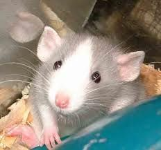 I've fostered fancy rats for the Humane Society (reluctantly at first) and they turned out to be the neatest pets.  True story.