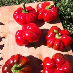 Round of Hungary peppers (Rotunda)