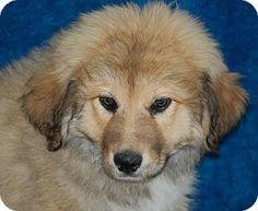 5/18/14 Allentown, NJ - Great Pyrenees/Labrador Retriever Mix. Meet Betty Sue a Puppy for Adoption.