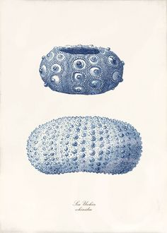 Blue Sea Urchin Art Print - 5 x 7 - Natural History - Sea Urchins Blue. $10.00, via Etsy.