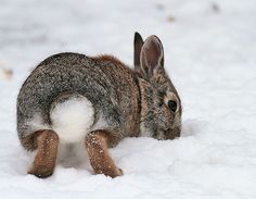 Shake Your Booty…, the tail of the Eastern Cotton-tail Rabbit by Stuart Oikawa