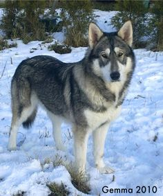 Northern Inuit dog. Breed to look like a wolf. I want one!