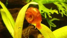 Ramshorn Snail - The Care, Feeding and Breeding of Ramshorn Snails