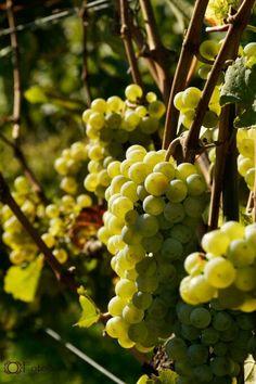 #Wein #Weintraube #Beeren #Winzerfest #Radebeul #Genuss