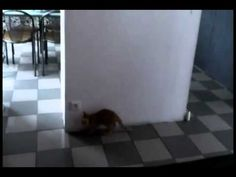 Kitten Fails Surprise Attack: This kitten has a great plan to scare her friend, but the tables turn when her friend takes a different route to the living room. LOL
