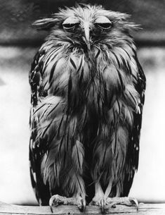 Bored?!  Javan Fish Owl  5th December 1973, (Photo by Fox Photos/Getty Images)