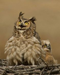 This Great Horned Owl has taken over an Osprey nest