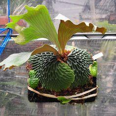 ☀︎ やっぱりマダガスカリエンセって、サイコーやん‼︎‼︎ もっと頑張ろー‼︎‼︎ #師匠のビカク#ビカクシダ #コウモリラン #platycerium #green #plants #fern #staghornfern #staghornferns #bsfi_official ##madagascariense #マダガスカリエンセ #マダガスカリエンセ普及委員会 #原種党