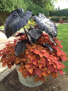 Elephant Ears & Coleus mixed tropical container at Rotary Gardens