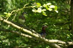 Thanks to Suzi Guy who spotted this pair of Mandarin Ducks at Calke Abbey, Derbyshire. 22 May 2014