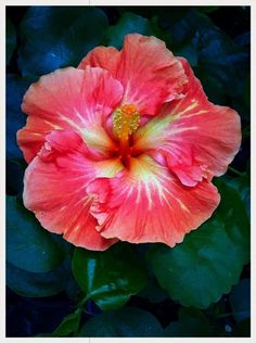 #hibiscus #rosa #sinensis - http://www.growplants.org/growing/hibiscus-rosa-sinensis learn how 2 #grow