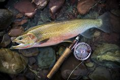 Westslope Cutthroat Trout, Montana