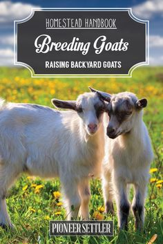 Learn How To Breed Your Goats And When To Breed Them | Homesteading Skills and Ideas by Pioneer Settler at http://pioneersettler.com/goat-breeding-raising-goats/