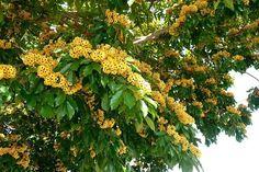 Pau brasil (Caesalpinia echinata, Fabaceae)