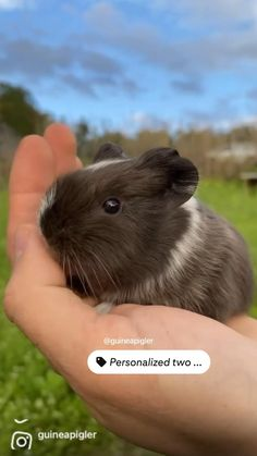 Baby Animals Pictures, Cute Baby Animals, Funny Animals, Baby Guinea Pigs, Guinea Pig Care, Piggly Wiggly, Animal Makeup, Funny Animal Videos, Animal Photography
