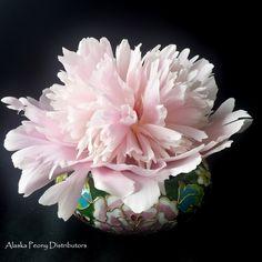 A single Marie Lemonie peony. Alaska grown in July, shipped nationwide. White Peonies, Peony, Alaska, Wedding Flowers, Bloom, Rose, Plants, Pink, Peony Flower