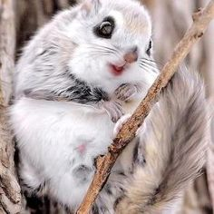 Japanese flying squirel