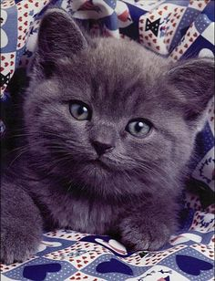 Russian Blue Cats Kittens Blue kitty More - I Love Cats, Crazy Cats, Cool Cats, Kittens Cutest, Cats And Kittens, Baby Animals, Cute Animals, Amor Animal, Russian Blue