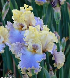 TB Iris germanica 'Rainbow Sunset' (Johnson, 2015)