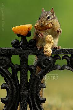 Regal Peanuts by *Eltasia