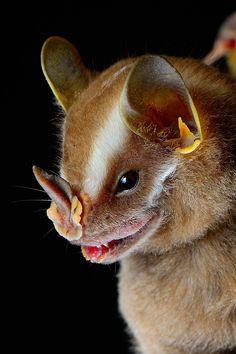 Platyrrhinus helleri - Heller's broad-nosed bat  Photo by José Gabriel Martínez Fonseca