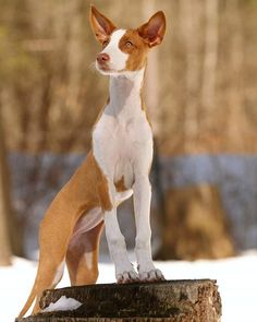 Pretty and poised Ibizan Hound.