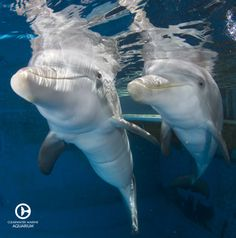Winter the dolphin with her pal, Hope the dolphin! Bucket List I want to see them in person Orcas, Dolphin Tale 2, Clearwater Marine Aquarium, Baby Animals, Cute Animals, Bottlenose Dolphin, Humpback Whale, Sea World, Animals Of The World