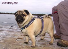 Pug and a frozen lake
