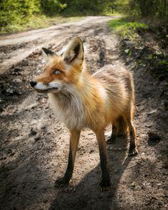 Red Fox by Alex Dredd on 500px