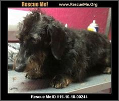 Meet Ozzie Osborne! He is a stunning 6 year old 12 pound wire haired miniature dachshund who is celebrating his retirement!! Ozzie will need a patient loving home - he is nervous in new situations. He is sweet and submissive he just needs time and some socialization. Chapman's Dachshund Rescue 1200 Chambers Rd York County York, SC 29745  Contact: Gina Chapman 803 792 2473