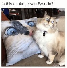 Gato Gif Foto Linda Animal Gato Animals And Pets Kittens Kitty Cat Pictures Funny Cats Fluffy Kittens Dog Cat Cute Animal Memes, Animal Jokes, Cute Funny Animals, Cute Baby Animals, Funny Cute, Cute Cats, Hilarious, Animal Humour, Animals And Pets