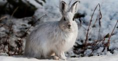 snowshoe hare // how to hunt + track