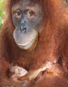 The baby is the orang-utan to be born at Singapore Zoo Cute Baby Animals, Animals And Pets, Funny Animals, Animal Babies, Fur Babies, Beautiful Creatures, Animals Beautiful, Beautiful Things, Los Primates