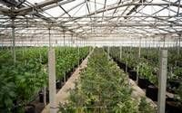 The other side of Eden: Commercial marijuana takes root in Steinbeck country | The Sacramento Bee